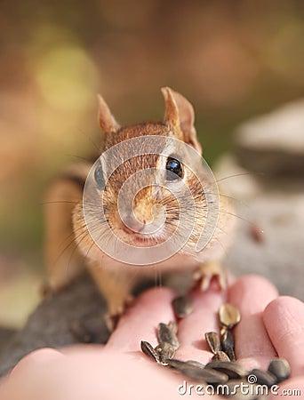 Hand-feeding chipmunk