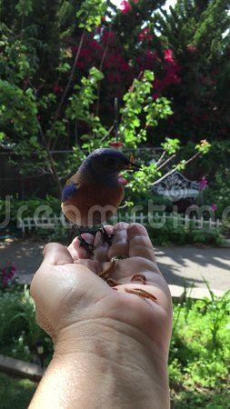 Hand Feeding Mealworms to a Wild Western Bluebird in Southern California stock video