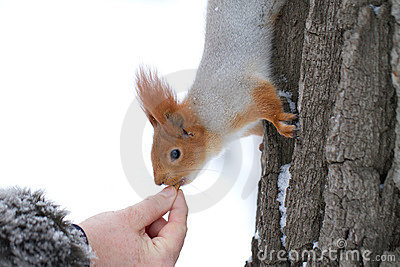 Hand feeding red squirrel