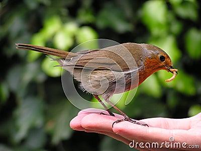 Hand Feeding a Robin Redbreast