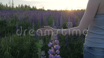 Hand girl touches purple flowers in a beautiful field at sunset. Slow motion. Lupine stock video footage