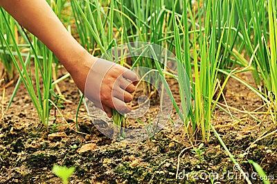 Hand harvest onion