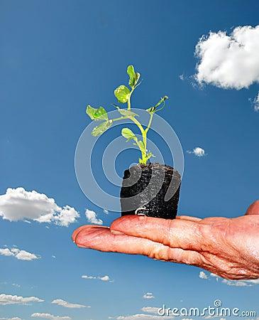 Hand hold bean seedling