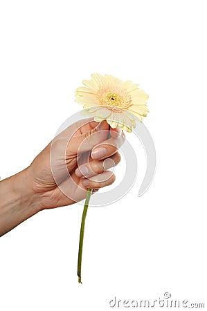 Hand hold gerbera