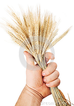 Hand hold wheat