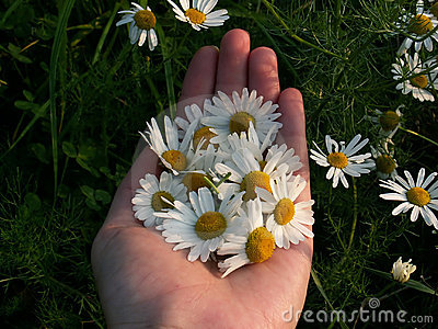 hand holding camomile