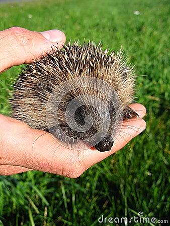 Hand holding a cute hedgehog
