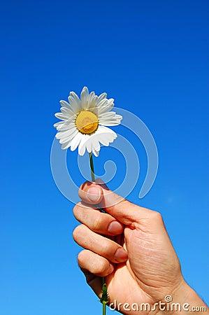 Hand holding a daisy