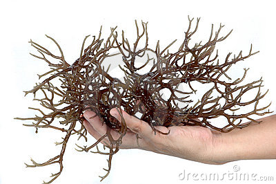Hand holding fresh brown seaweed