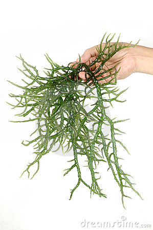 Hand holding fresh green seaweed