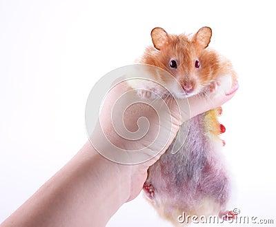 Hand holding hamster