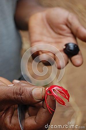 Hand holding nutmeg