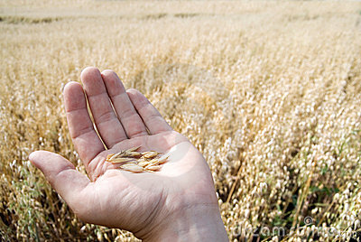 Hand holding oat seeds