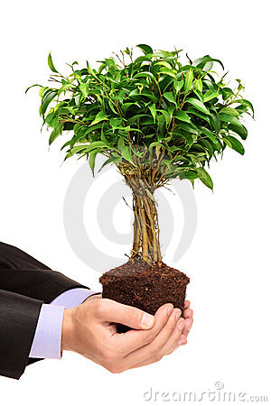 Hand holding a plant Ficus Benjamin