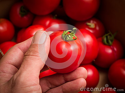 Hand holding red tomato