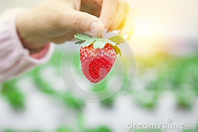 Hand holding strawberry