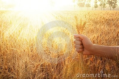 Hand holding wheat ears