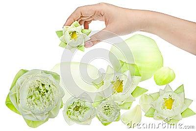 Hand holding white  lotus