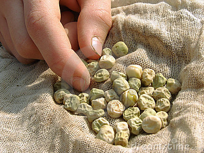 Hand with peas seeds