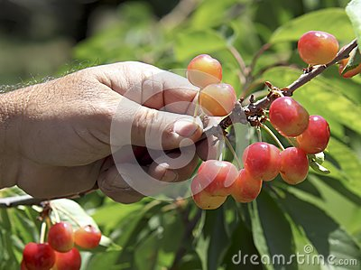 Hand Picked Cherries