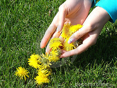 Hand picked dandelion blossoms