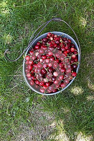 Hand picked organic cherries