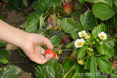 Hand picking up strawberry on garden-bed