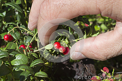 Hand pluck cranberries
