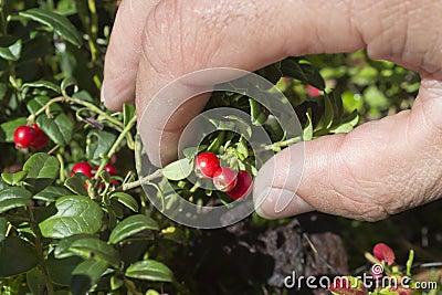 Hand pluck cranberries