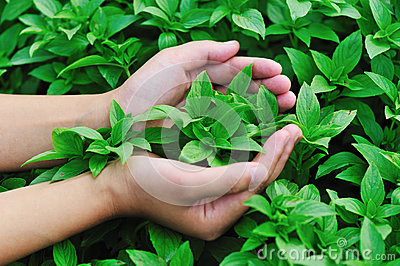 Hand protect basil plant