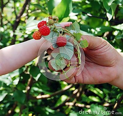 Hand reaches for a raspberry.