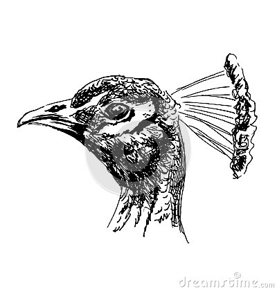 Free Hand Sketch Of The Head Of A Peacock Royalty Free Stock Photo - 71562755