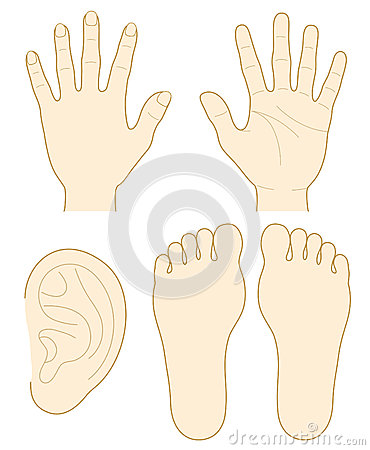 Hand, the sole of a foot, ear