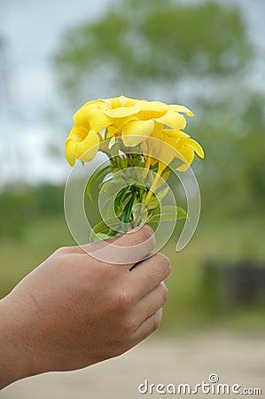 Hand som rymmer en gul allamandablomma
