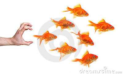 Hand trying to catch a group of goldfish
