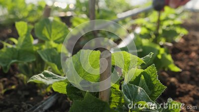 Hand using small hoe around young cucumber plants stock video footage
