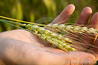 Hand with wheat