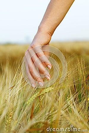 Hand in wheat field.