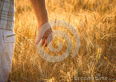 Hand and wheat field
