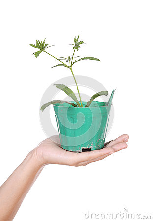 Free Hand With Young Seedlings Of Parsley In Small Pot Stock Images - 38453524