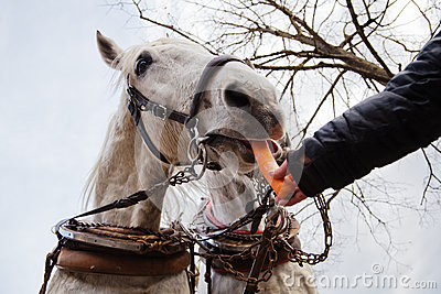 Woman s  hand feeds a carriage horse