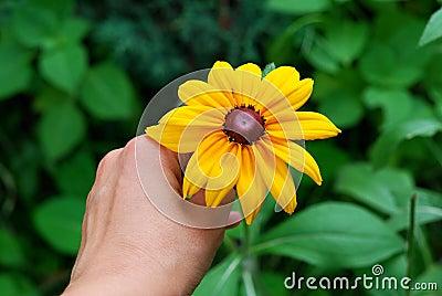 Hand and  yellow daisies