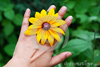 Hand and  yellow daisies