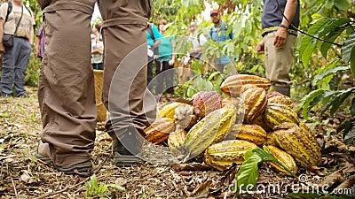 Handbok för människor som visar turistfrukt i kakao arkivfilmer