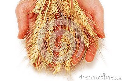 Handen die tarweoren houden