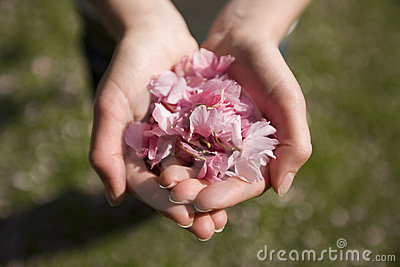 Handful cherry blossom