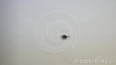 Handicaped tick with only 7 legs walking on a white background stock video footage