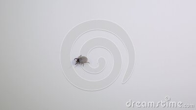 Handicaped tick with only 7 legs walking on a white background stock footage
