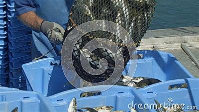 Handlowego połowu przemysłu rybaka rybi chwyt na łodzi przy połowem dokuje zbiory wideo