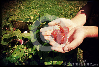 Handpicked Strawberries
